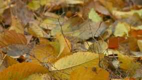 Yellow autumn leaves lie on ground background stock video