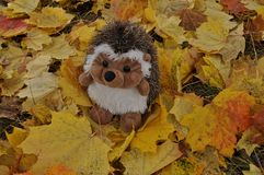 Yellow autumn leaves. Little hedgehog in yellow leaves Royalty Free Stock Photo