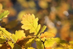yellow autumn leaves on the oak tree in the Park Royalty Free Stock Images