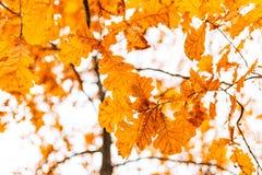 Yellow autumn leaves on an oak tree Stock Photo