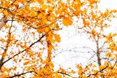 Yellow autumn leaves on an oak tree Stock Photography