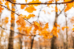 Yellow autumn leaves on an oak tree Stock Images