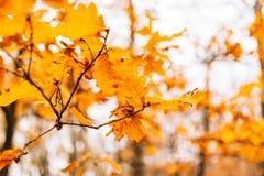 Yellow autumn leaves on an oak tree Royalty Free Stock Photo