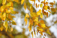 Yellow Autumn Leaves On Natural Background Stock Images