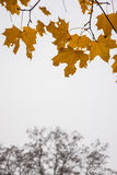 Yellow autumn leaves. Over the bare tree Royalty Free Stock Images