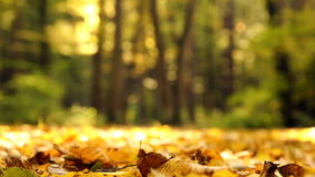 Yellow autumn leaves in the park.Yellow autumn maple leaves in the forest.Autumn landscape in the park, the woods. stock video footage