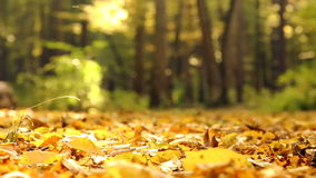 Yellow autumn leaves in the park.Yellow autumn maple leaves in the forest. stock video