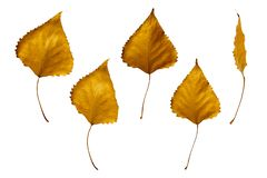 Yellow autumn leaves of poplar isolated on white background stock images
