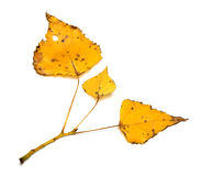 Yellow autumn leaves on poplar twig Stock Images