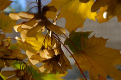 Yellow autumn leaves. On a tree Royalty Free Stock Image