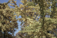 Yellow autumn leaves on a tree against bright blue sky Stock Images