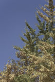 Yellow autumn leaves on a tree against bright blue sky Royalty Free Stock Photos