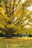 Yellow Autumn Leaves on a Tree Royalty Free Stock Photo