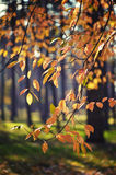 Yellow autumn leaves on a tree Royalty Free Stock Images