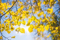 Yellow autumn leaves on sky background Stock Images