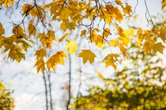 Yellow autumn leaves on sky background Royalty Free Stock Image