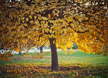 Yellow autumn leaves on a tree Royalty Free Stock Photography
