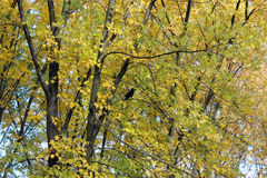 Yellow autumn leaves on the tree Royalty Free Stock Images