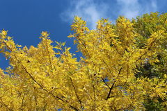 Yellow autumn leaves on the tree Stock Photography