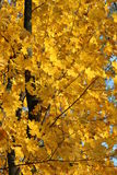 Yellow autumn leaves on the tree Royalty Free Stock Photography
