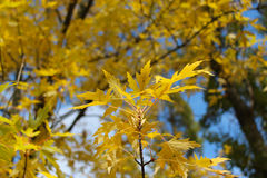 Yellow autumn leaves on the tree Royalty Free Stock Photos
