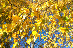 Yellow autumn leaves on a tree in sun beams Royalty Free Stock Photography