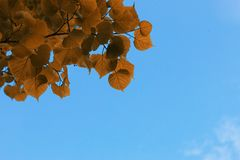 Yellow autumn leaves of trees on clear blue sky stock photography