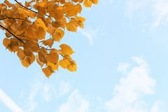Yellow autumn leaves of trees on clear blue sky Royalty Free Stock Images
