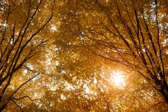 Yellow autumn leaves on the trees. Yellow autumn leaves on the trees in the rays of the sun royalty free stock photography