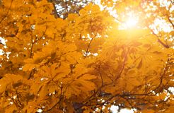 Yellow autumn leaves on the trees. Yellow autumn leaves on the trees in the rays of the sun royalty free stock images