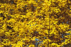 Yellow autumn leaves on the trees. Yellow natural background.  royalty free stock photography