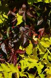 Yellow autumn leaves of trumpet creeper Campsis Radicans climbing flower and some other dark red leaves of another climbing plant. Natural afternoon sunlight royalty free stock image