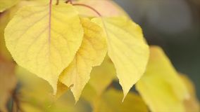 Yellow autumn leaves on a twig. Leaves are jagged edges. Close up stock footage