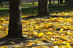 Yellow autumn leaves under trees stock image