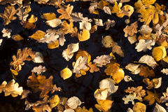 Yellow autumn leaves on water Royalty Free Stock Photo