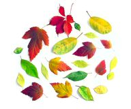 Yellow autumn leaves on a white background(11).jpg Stock Photography