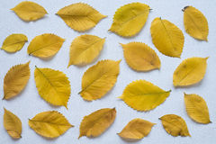 Yellow autumn leaves on a white board Stock Photo
