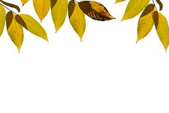 Yellow autumn leaves. stock images