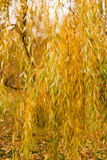 Yellow autumn leaves on a willow tree Royalty Free Stock Image