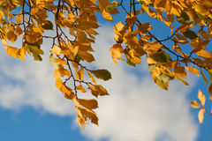 Yellow autumn leaves in the wind Royalty Free Stock Images