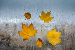 Yellow autumn leaves on a  window Stock Photos