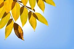 Yellow autumn leaves. stock photos