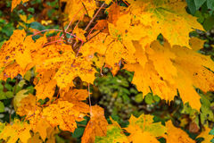 Yellow autumn maple in the fall Royalty Free Stock Photo