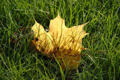 Yellow autumn maple leaf. On green grass Royalty Free Stock Image