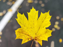 Yellow autumn maple leaves in park Royalty Free Stock Image