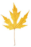 Yellow autumn maple leaf isolated on white background Stock Images