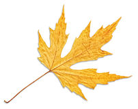 Yellow autumn maple leaf isolated on white background Royalty Free Stock Photography