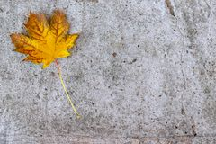 A yellow autumn maple leaf lying on concrete, cement background with copy space stock photo