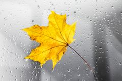 Yellow autumn maple leaf on a rainy window. The concept of Fall seasons. Yellow autumn maple leaf on a rainy window. The concept of Fall seasons stock images