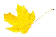 Yellow autumn maple-leaf on white background. Stock Photo